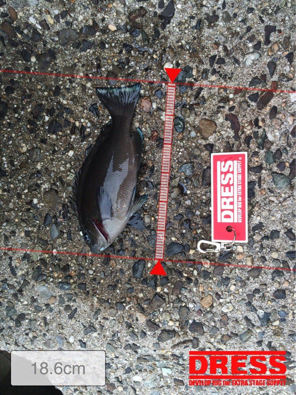 ヤスさんの投稿画像,写っている魚はメジナ