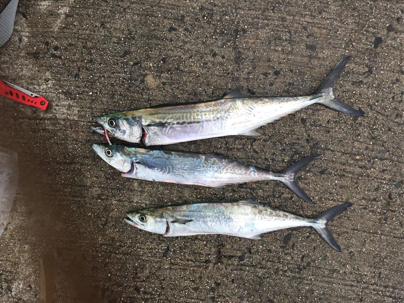てつさんの投稿画像,写っている魚はサワラ