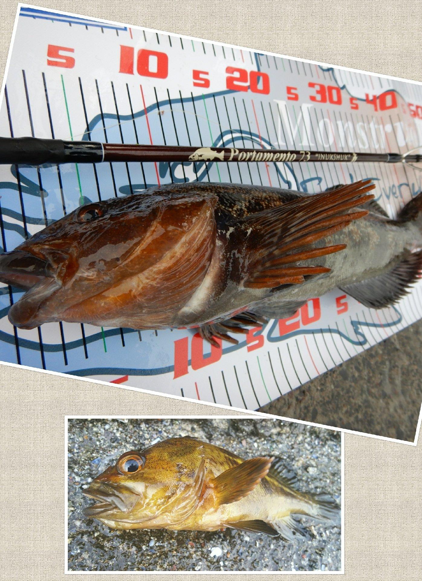 かなぼうさんの投稿画像,写っている魚はシマゾイ,アイナメ