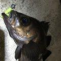 伊藤  颯太さんの宮城県牡鹿郡でのアイナメの釣果写真