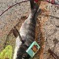 サバイバルさんの熊本県水俣市での釣果写真