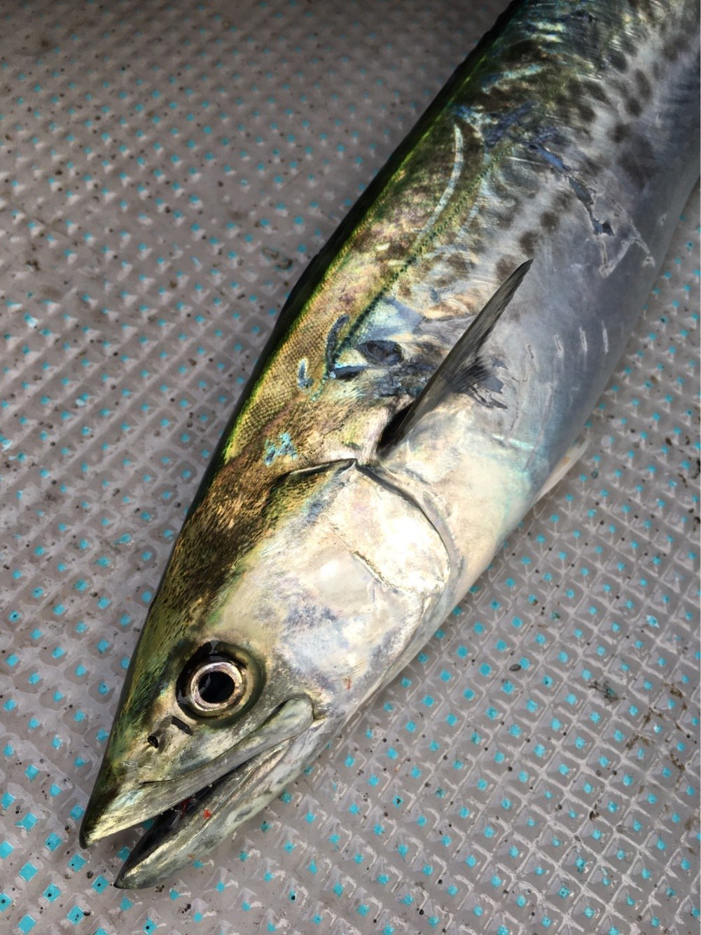 おるさんの投稿画像,写っている魚はサワラ