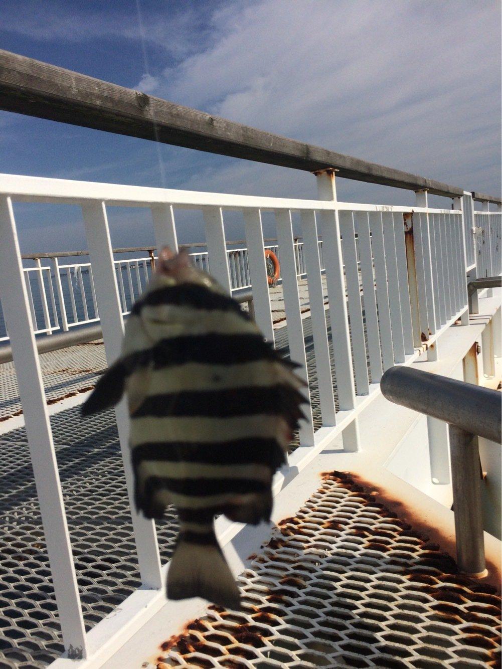 ヤスさんの投稿画像,写っている魚はイシダイ