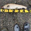 釣りキチ中学生さんのニゴイの釣果写真