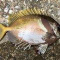 ケンさんの沖縄県名護市での釣果写真