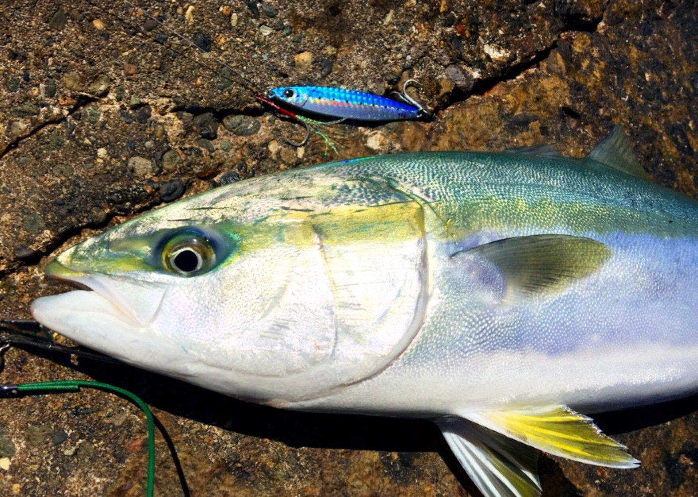 かっちゃんさんの投稿画像,写っている魚はワラサ
