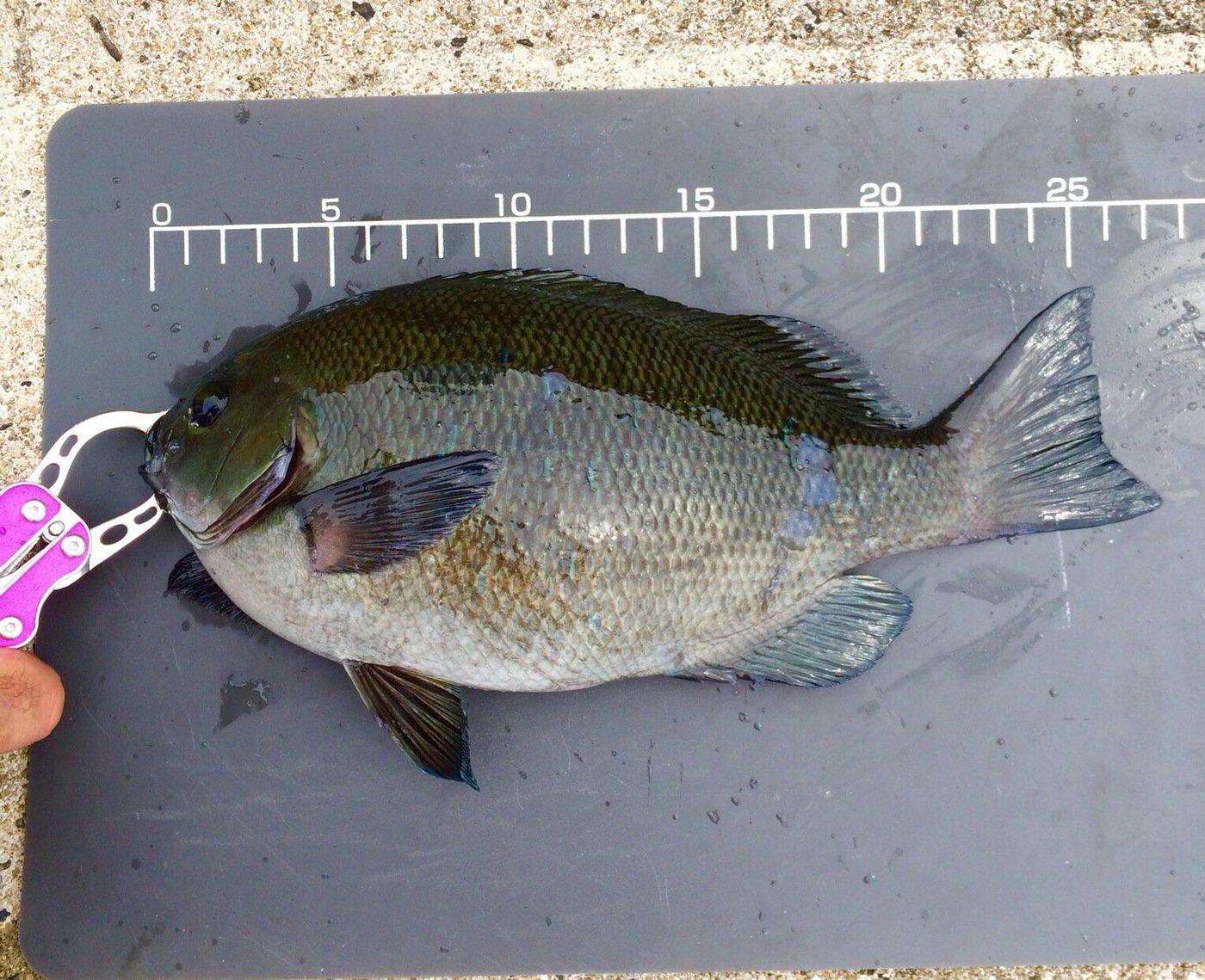 えーすさんの投稿画像,写っている魚はメジナ