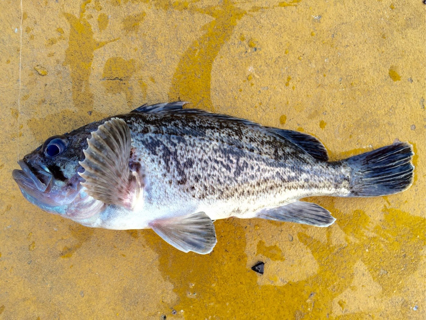 えーすさんの投稿画像,写っている魚はクロソイ