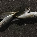 アオサギさんの神奈川県川崎市でのカサゴの釣果写真