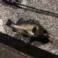 しょうさんの静岡県賀茂郡での釣果写真