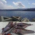 ざびえるさんの岩手県大船渡市での釣果写真