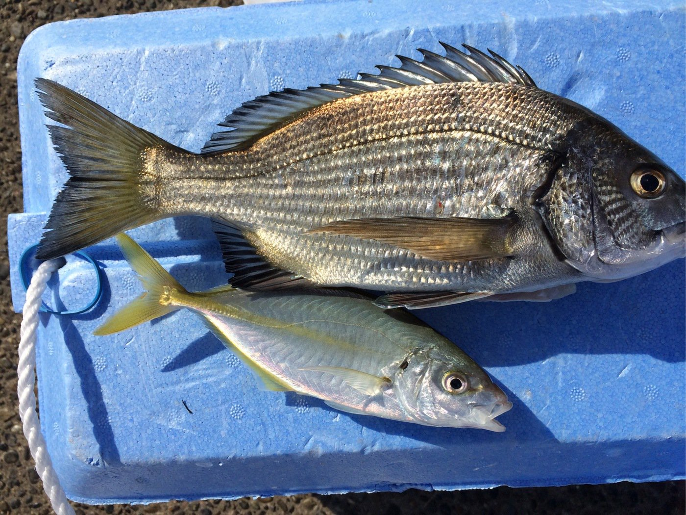 小野さんの投稿画像,写っている魚はクロダイ