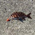 キンクマインコさんの静岡県熱海市での釣果写真