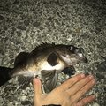 由井Pさんの愛媛県伊予市での釣果写真