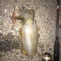 のすけさんの広島県尾道市でのアオリイカの釣果写真