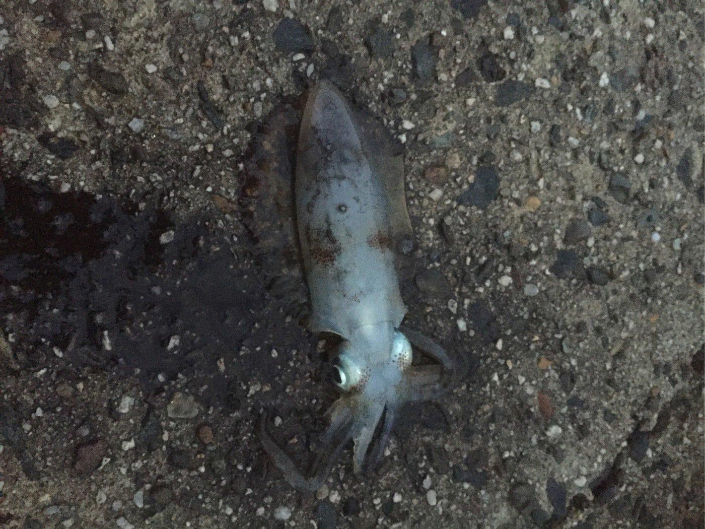 ひろんさんの投稿画像,写っている魚はアオリイカ
