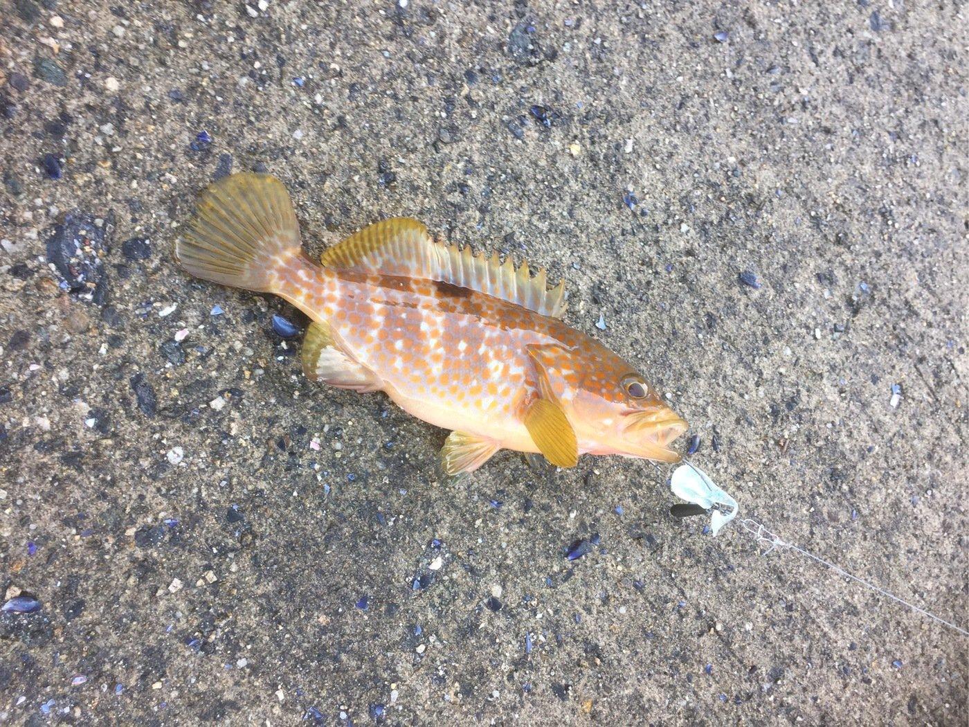 ひろんさんの投稿画像,写っている魚はキジハタ