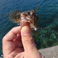 やっちゃんさんの静岡県伊豆市でのカサゴの釣果写真