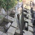 ともたかさんの東京都大田区での釣果写真