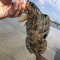 かずぴーさんの宮城県多賀城市でのアイナメの釣果写真