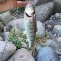 かずぴーさんの群馬県渋川市での釣果写真