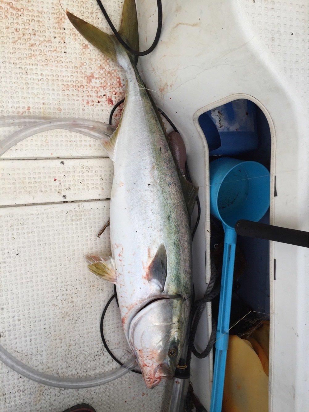 岩谷 昌幸さんの投稿画像,写っている魚はブリ