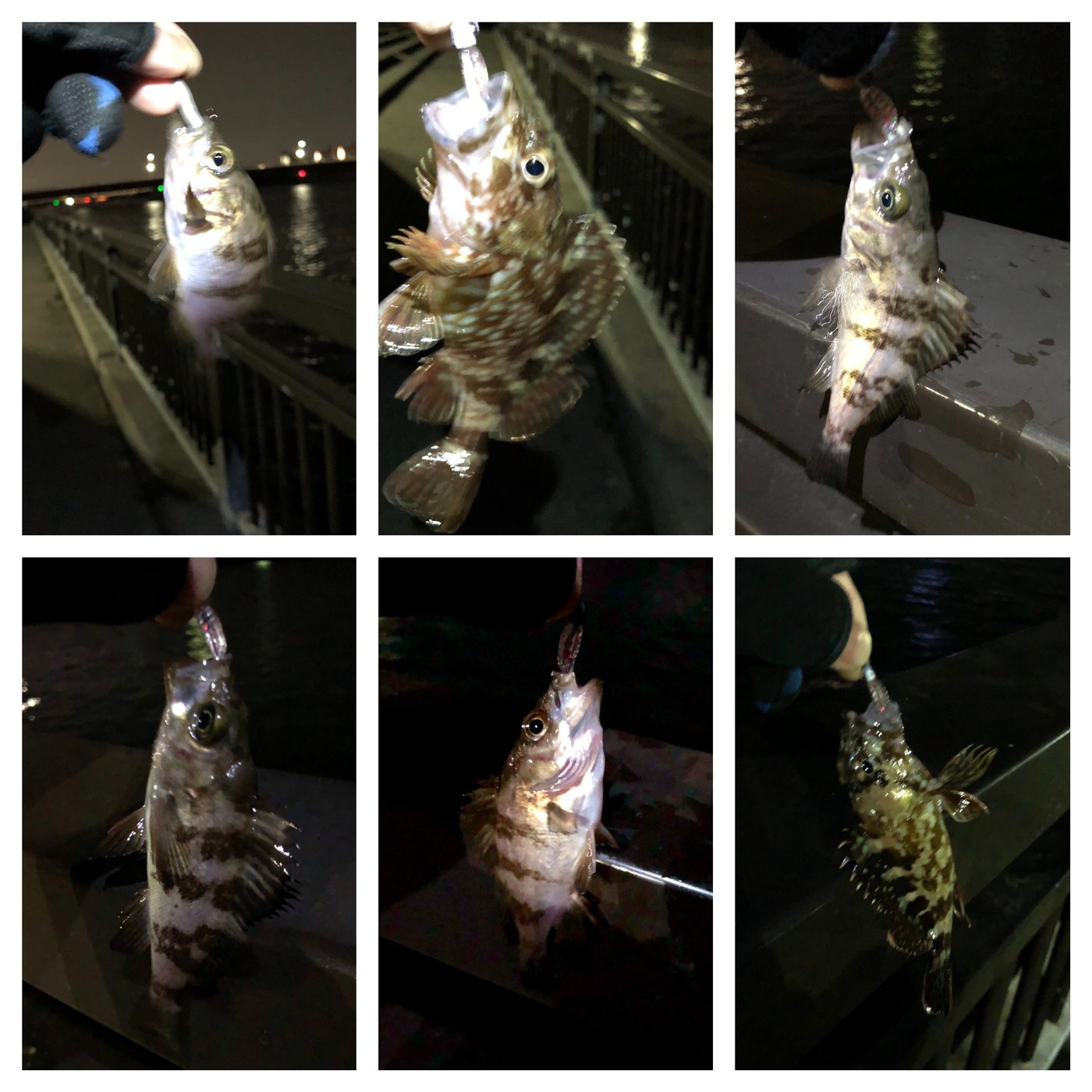 ussiさんの投稿画像,写っている魚はメバル,カサゴ