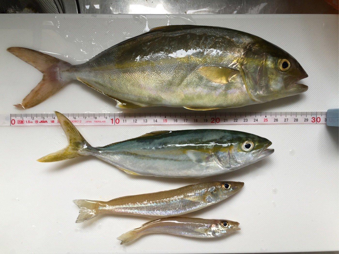 なべをさんの投稿画像,写っている魚はカンパチ