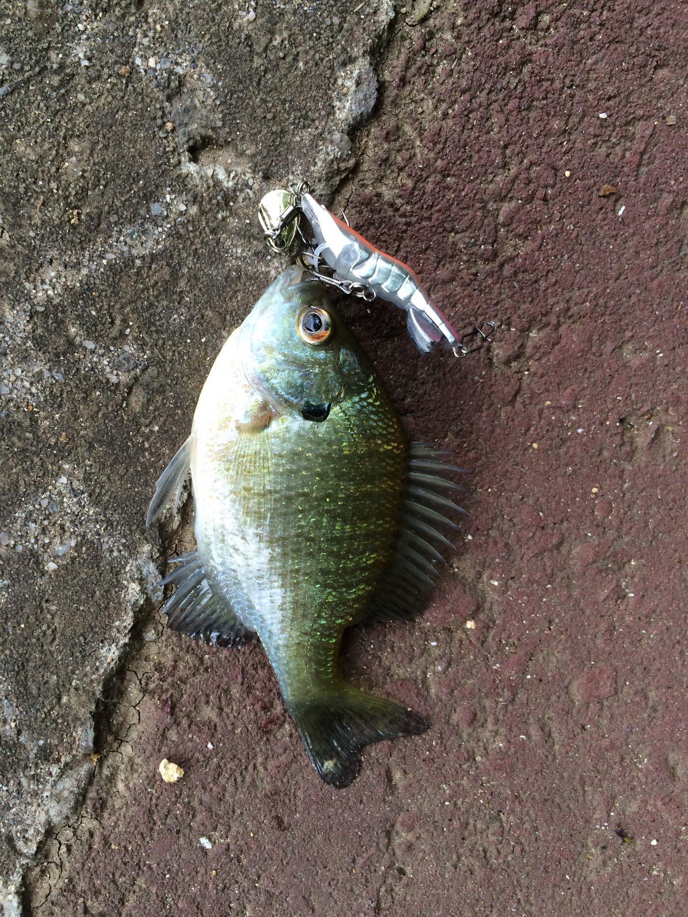 かずぴーさんの投稿画像,写っている魚はブルーギル