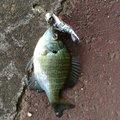 かずぴーさんの福島県福島市での釣果写真