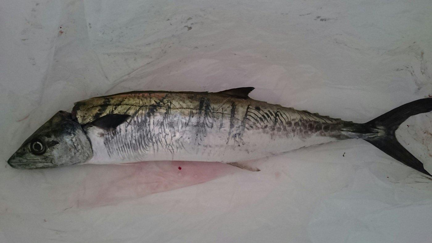あっきーさんの投稿画像,写っている魚はサワラ
