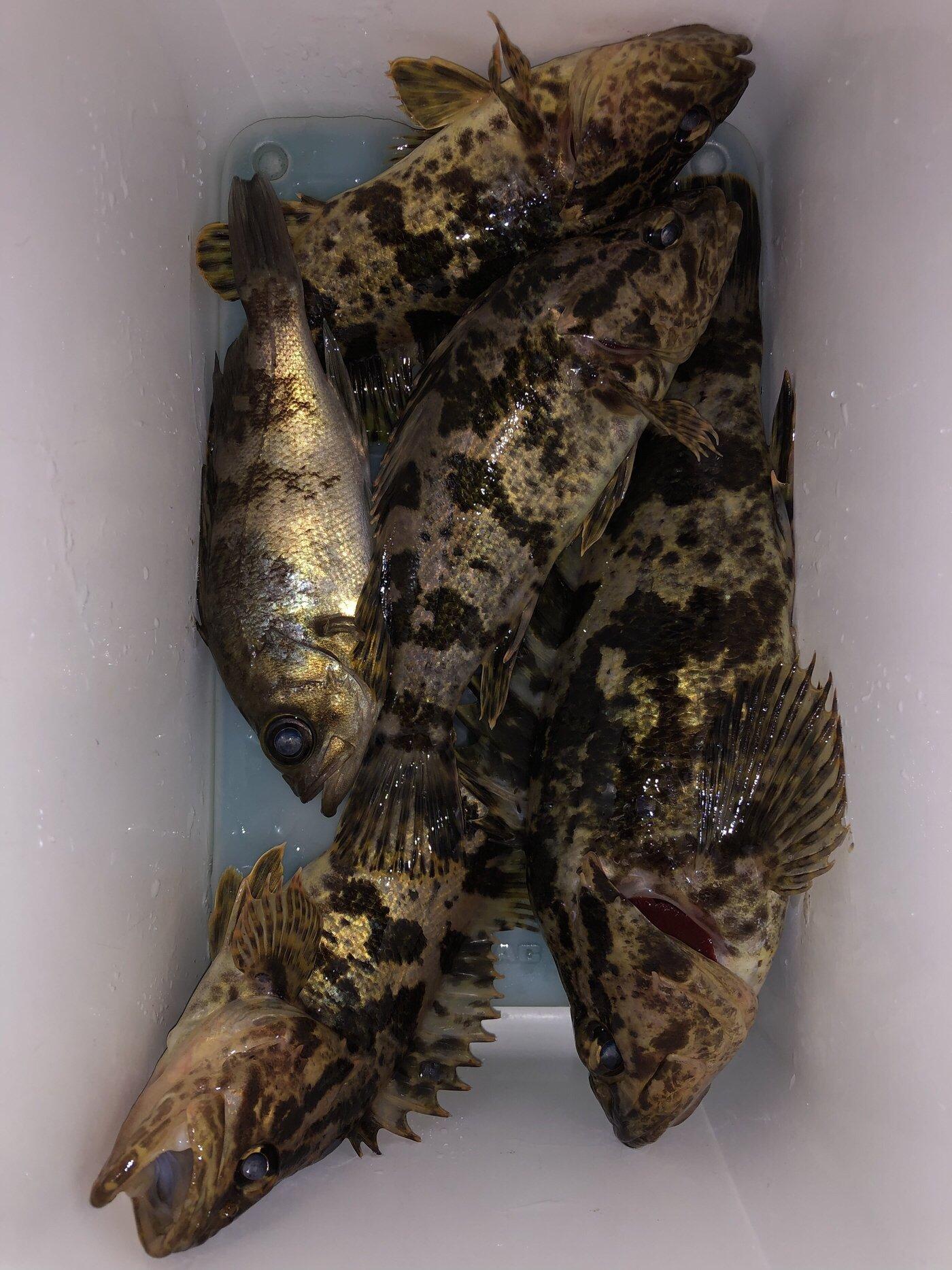 ゆうじさんの投稿画像,写っている魚はタケノコメバル,メバル