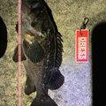 じぇーむすさんの富山県射水市でのクロソイの釣果写真