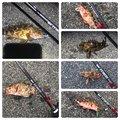 磯ROCK魂 直也さんの静岡県伊豆の国市でのカサゴの釣果写真
