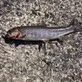 栞さんの群馬県での釣果写真