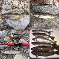 一期一会の魚さんの岐阜県下呂市での釣果写真
