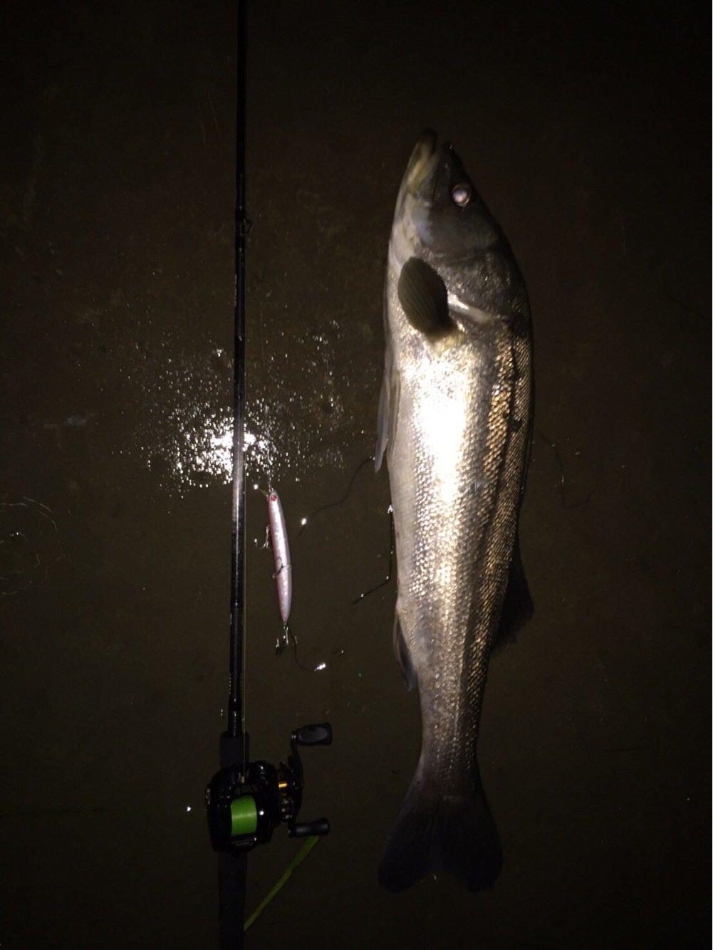 一匹狼さんの投稿画像,写っている魚はスズキ