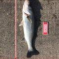 ドカさんの石川県鹿島郡での釣果写真