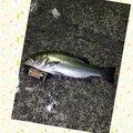 マサマサ🐡さんの高知県室戸市での釣果写真