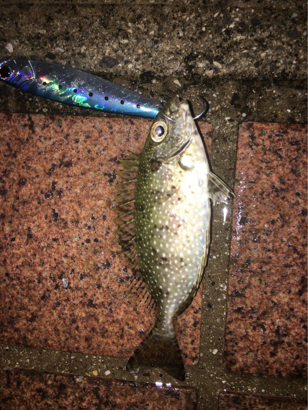 とーさんの投稿画像,写っている魚はアイゴ