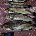 umiyama7さんの岩手県八幡平市での釣果写真