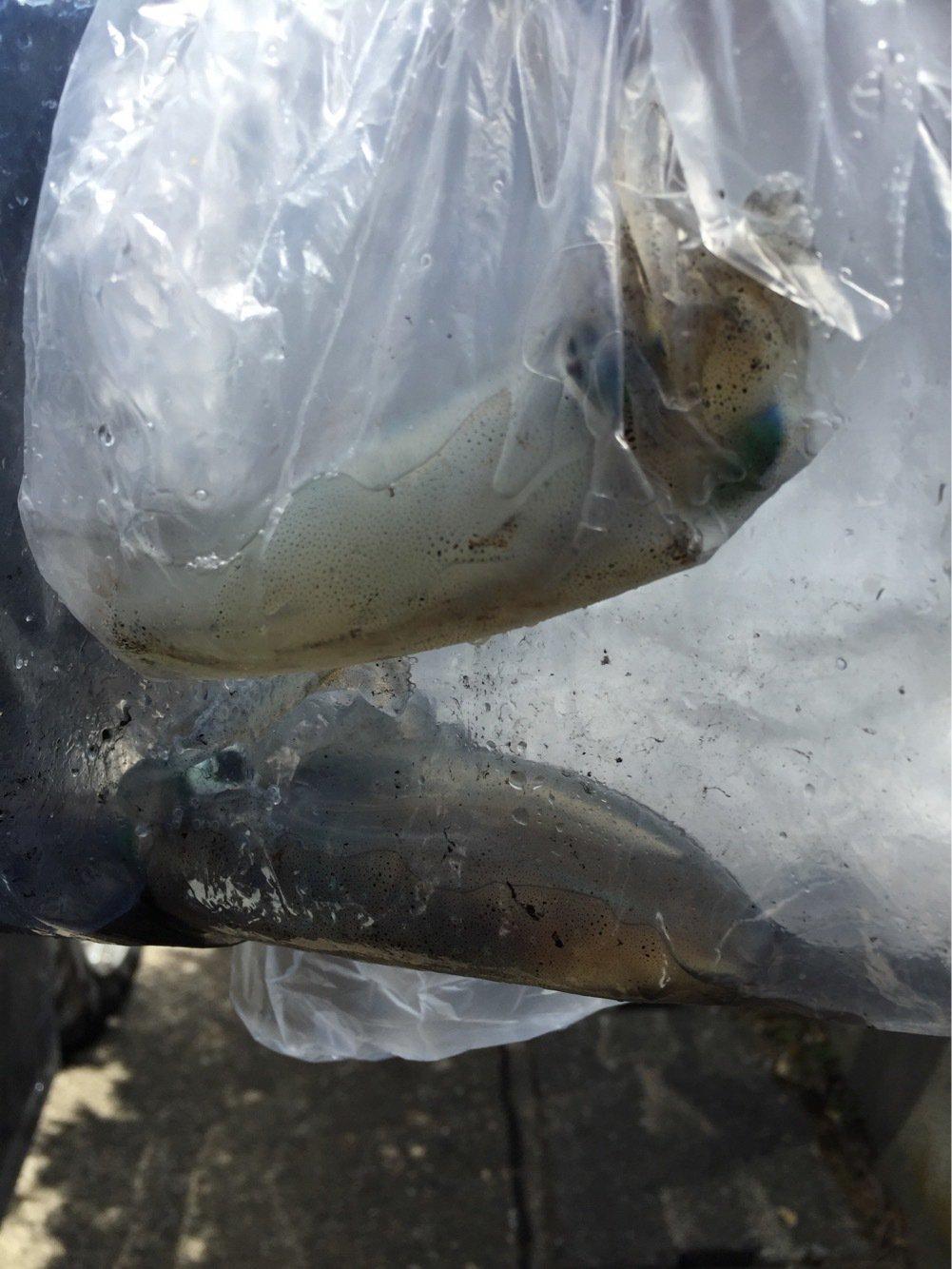 むーぼさんの投稿画像,写っている魚はアオリイカ