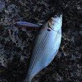 大和魂!さんの千葉県浦安市での釣果写真