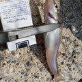 Showさんの長崎県諫早市での釣果写真