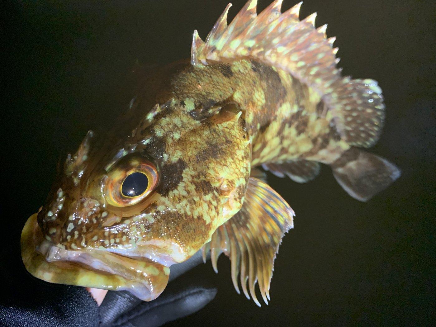 しもしさんの投稿画像,写っている魚はカサゴ