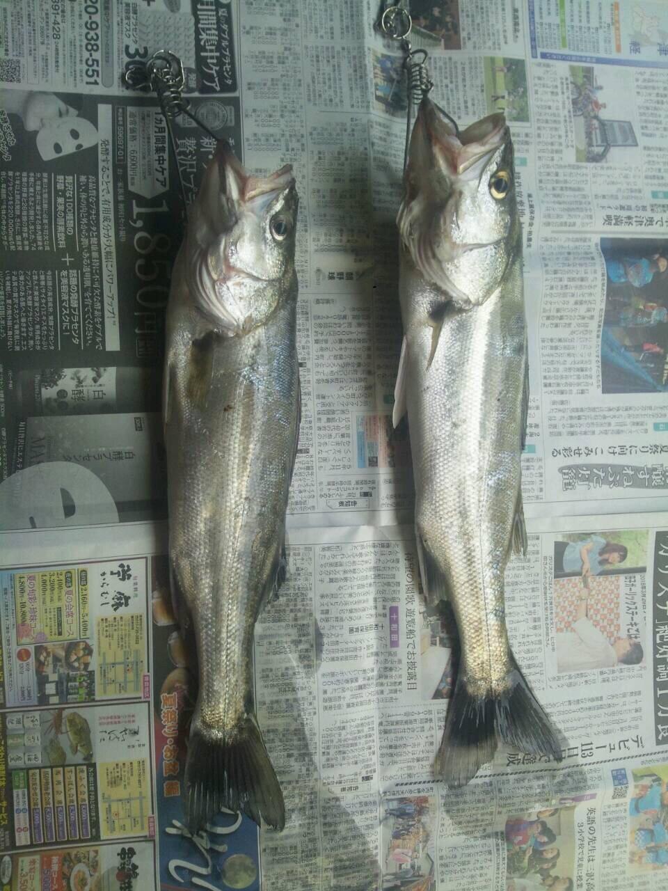 クラゲさんの投稿画像,写っている魚はスズキ