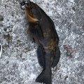 トサキントさんの宮城県多賀城市でのアイナメの釣果写真
