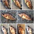 夏遥さんの神奈川県でのメバルの釣果写真