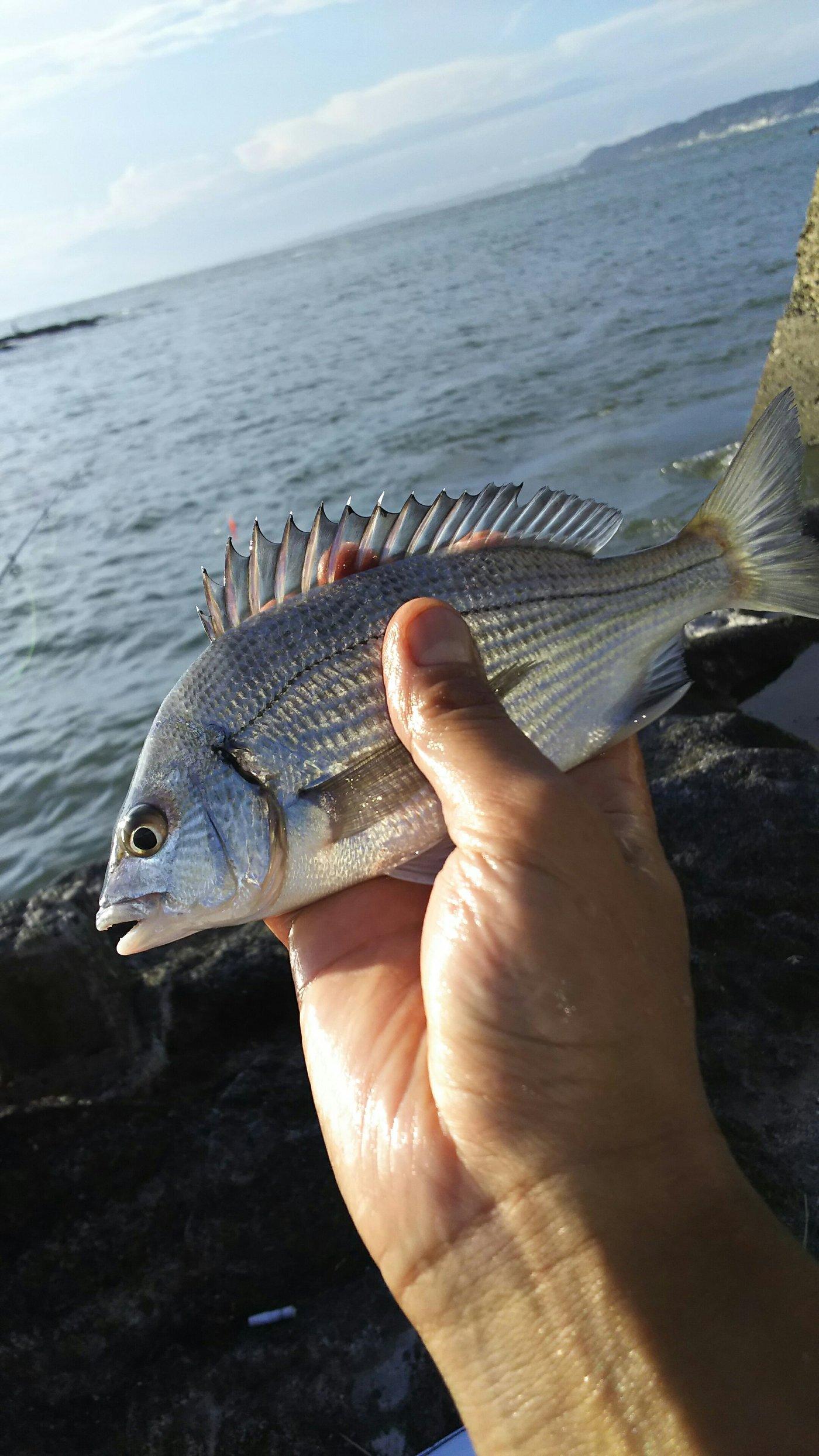 りょうさんの投稿画像,写っている魚はクロダイ