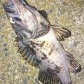 カチュアさんのクロソイの釣果写真